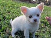 AKC Champion Sired Long Coat Chihuahua