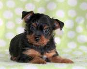 Lifetime Assurance Program Yorkshire Terrier Puppies for Sale