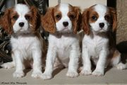 Blenhiem Cavalier King Charles Spaniel Puppies