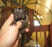 NBDF Adorable Twin Pygmy Marmoset and Capuchin 07031957695