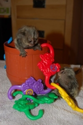 J7DS Adorable Twin Pygmy Marmoset and Capuchin 07031957695