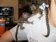 ; P0HG adorable little Wonderful Pygmy Marmoset and Capuchin 0703195769