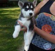 X-MAS Correct AKC Siberian Husky Puppies ..